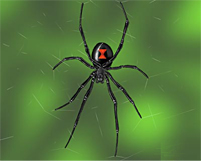 Black widow spider bites