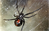 Black widow spider bites,Black widow spiders