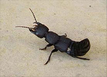 Devil's Coach Horse beetles